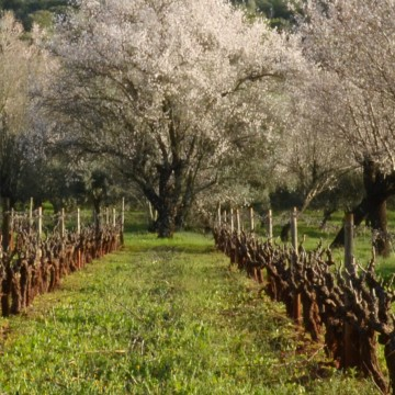 Almond trees and vines in Algarve