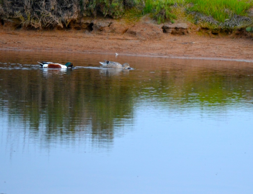 Nothern shoveler and gadwall in Ria Formosa Natural Park, Faro, Algarve