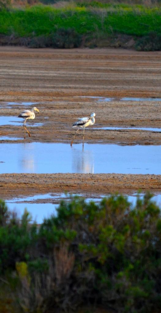 Greater flamingos eating in Ria Formosa's Natural Park - Faro, Algarve