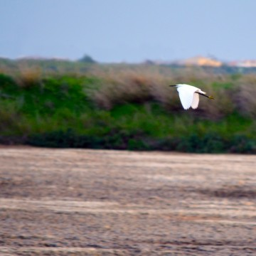Little egret in Ria Formosa's Natural Park - Faro, Algarve