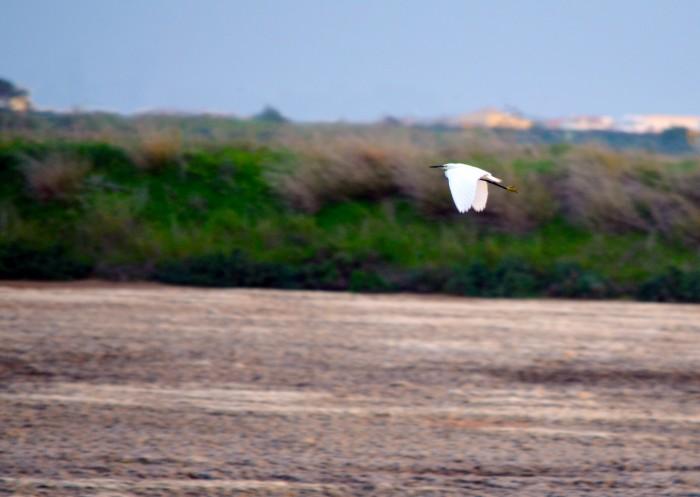 Little egret in Ria Formosa's Natural Park - Faro, Algarve