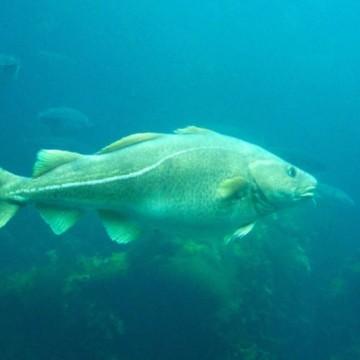 20 kg alive cod fish